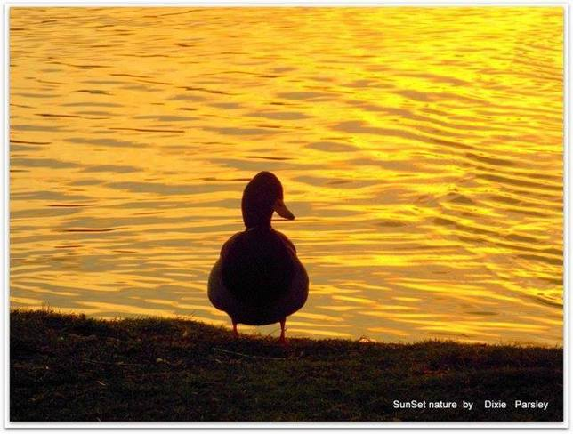 Duck in the sunset St. John's, Newfoundland and Labrador Canada