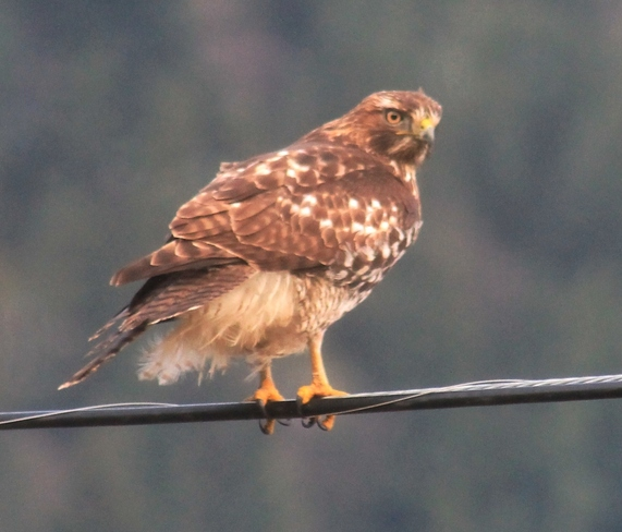 red tailed hawk Abbotsford, British Columbia Canada