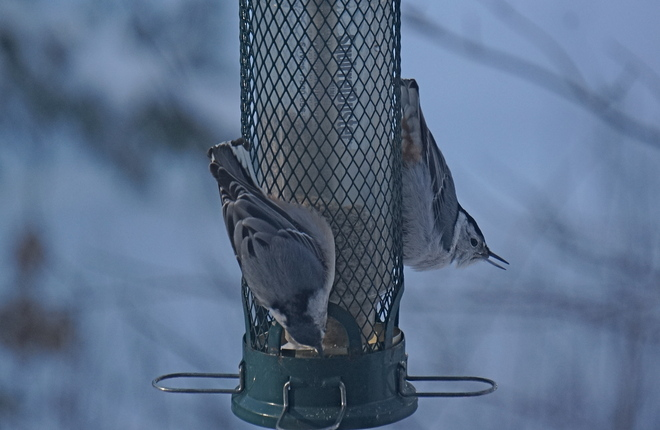 Hungry Nuthatchs Coboconk, Ontario Canada