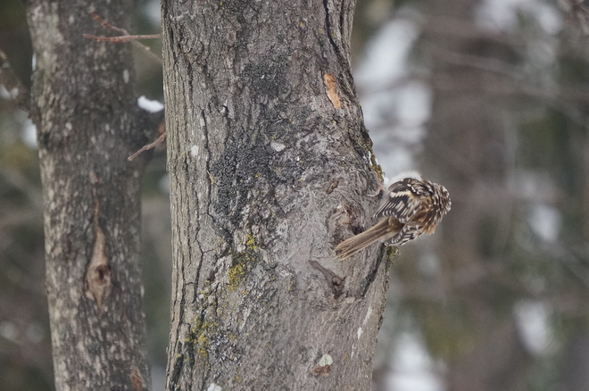 Cold Brown Creeper