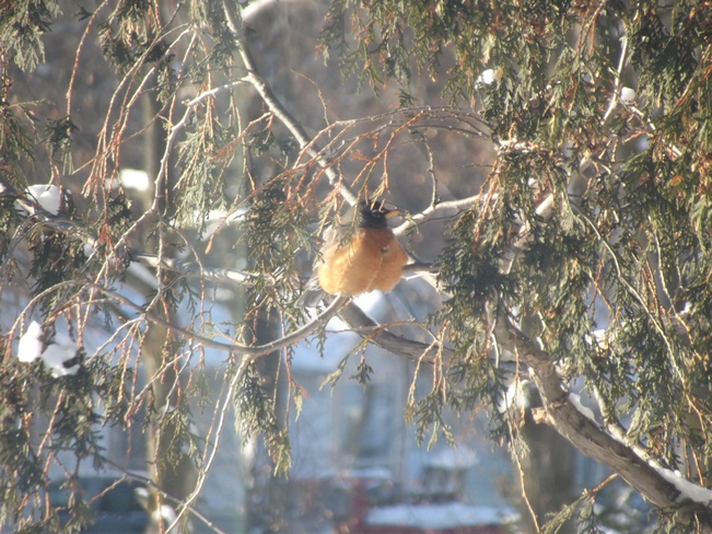 Robin sitting in the tree while we are in the deep freeze Orillia, Ontario Canada