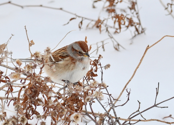 American Tree Sparrow Essex, Ontario Canada