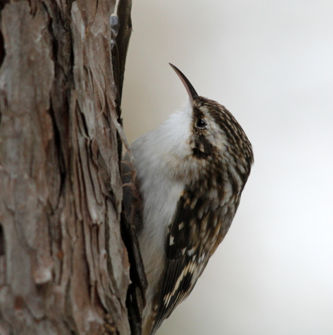 Brown Creeper Fergus, Ontario Canada