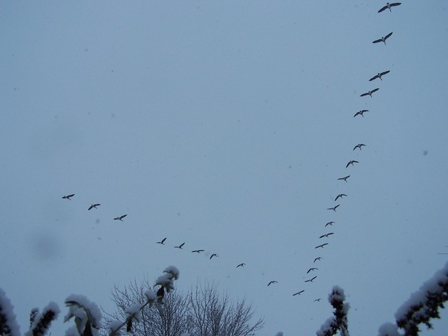 Geese Going South