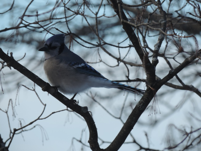 Blue Jay in the Tree Kingston, Ontario Canada
