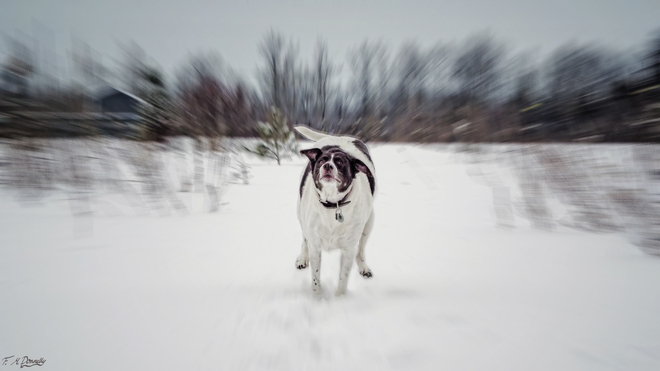 Crazed Snow Dog! Smiths Falls, Ontario Canada