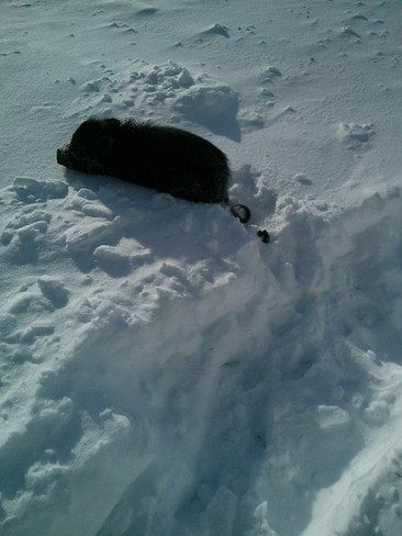 Annabelle the pig in the snow Carbonear, Newfoundland and Labrador Canada