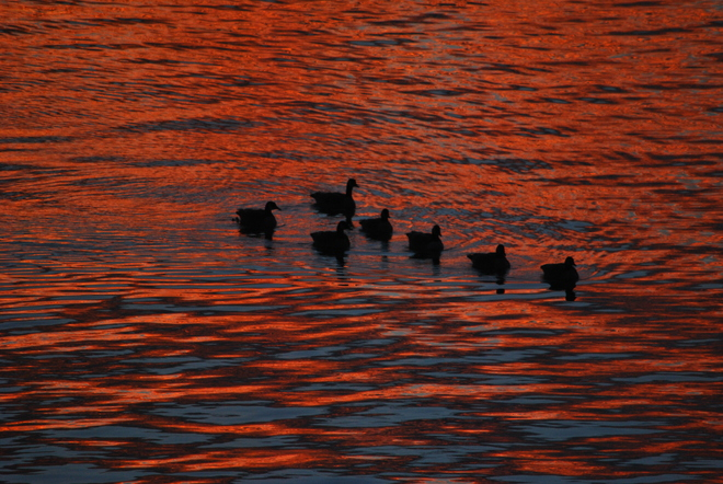 Geese wearing sunset colors South Kelowna, British Columbia Canada
