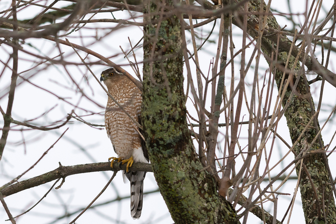 Cooper's Hawk at Lemoines Point Kingston, Ontario Canada