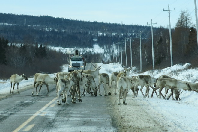 Caribou like the salt Buchans, Newfoundland and Labrador Canada