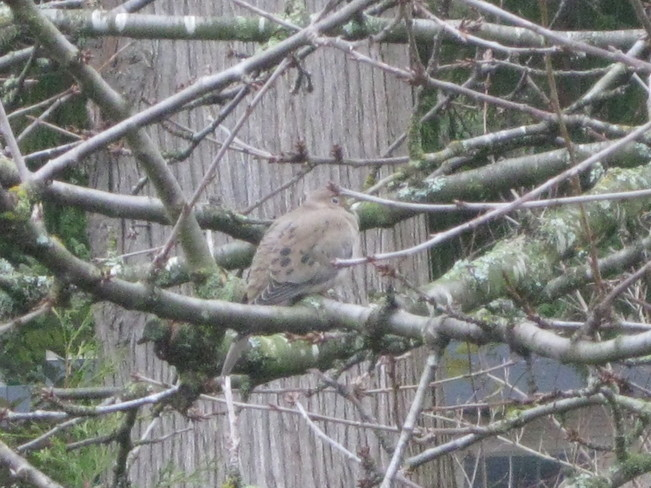 ...and a mourning dove sitting in a cherry tree... Surrey, British Columbia Canada