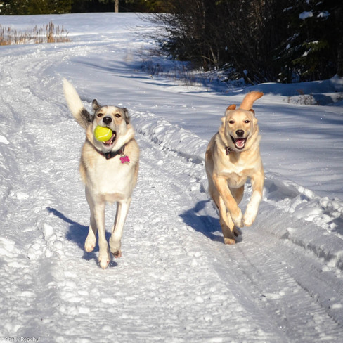 Two little Mushkadoodles having snow much fun! Lower Sackville, Nova Scotia Canada