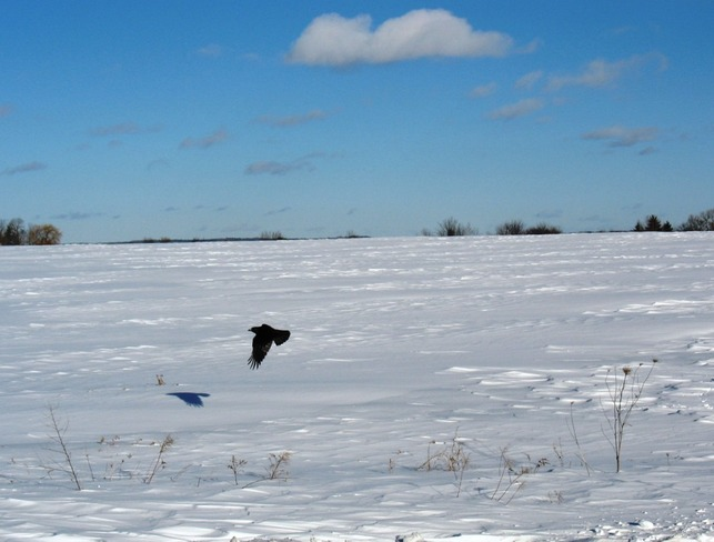 Crow in WInter Windsor, Nova Scotia Canada
