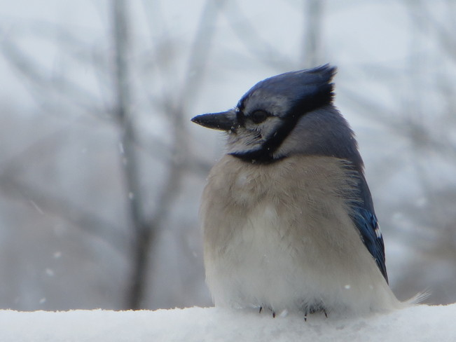 blue jay on a cold day Morriston, Ontario Canada