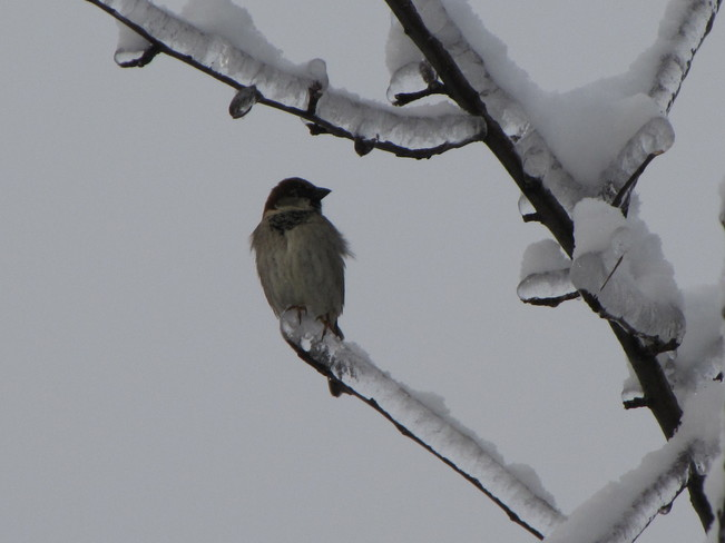 Junco after the Ice Storm Oak Ridges, Ontario Canada