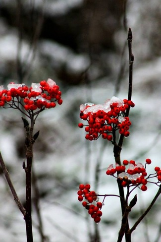 dog berries after the snow Portugal Cove-St. Philip's, Newfoundland and Labrador Canada