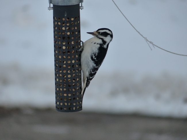 Woodpecker Shelburne, Nova Scotia Canada