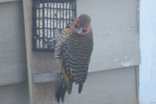 Flicker Mount Pearl, Newfoundland and Labrador Canada
