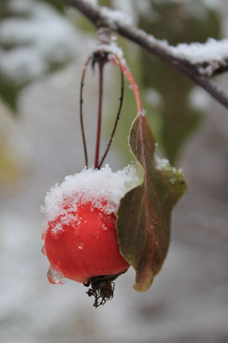 Apples and Snow Harvie Heights, Alberta Canada