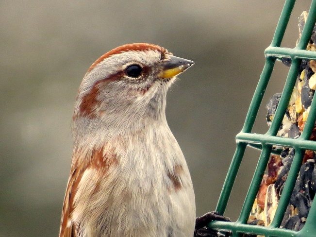 American Tree Sparrow Hastings, Ontario Canada