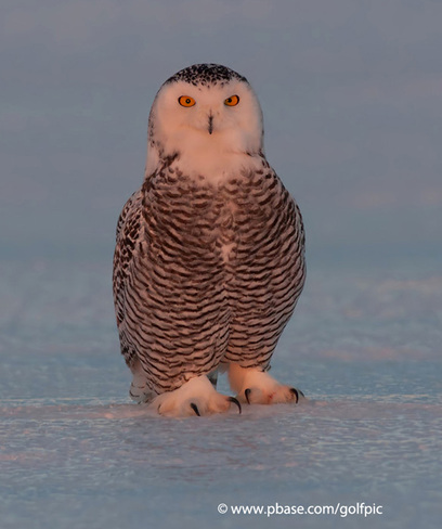Snowy Owl sunset on ice Ottawa, Ontario Canada