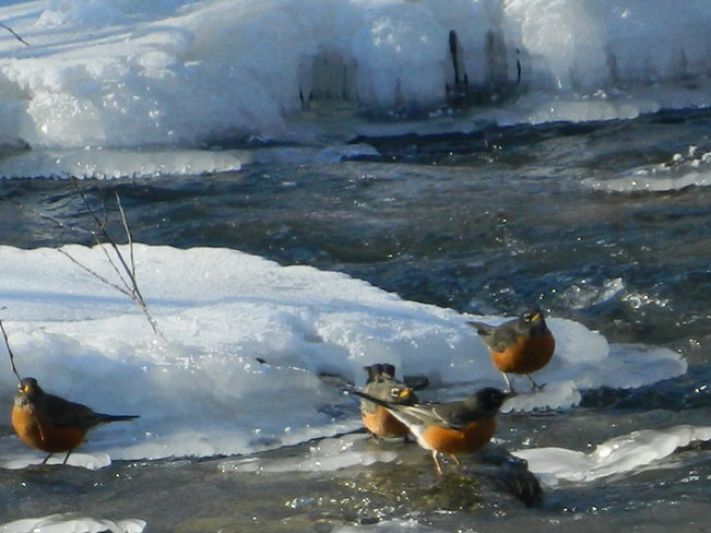 Robins on Ice