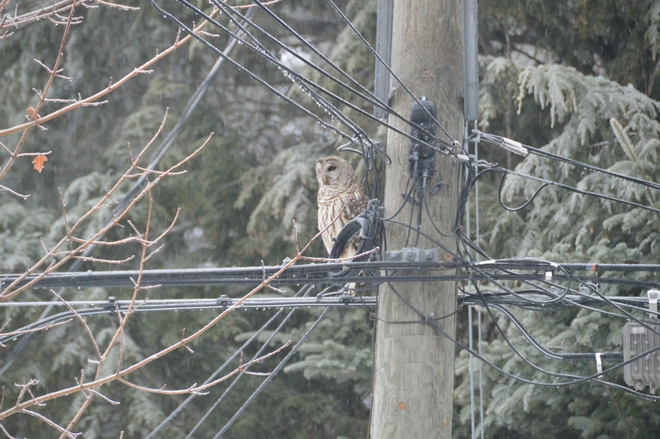 Grounded Barred Owl Fredericton, New Brunswick Canada