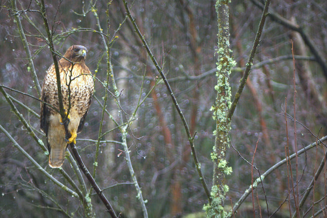 Red-tailed Hawk In The Rain Ladner, British Columbia Canada