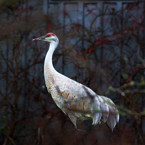Sandhill Crane In The Gentle Rain Ladner, British Columbia Canada