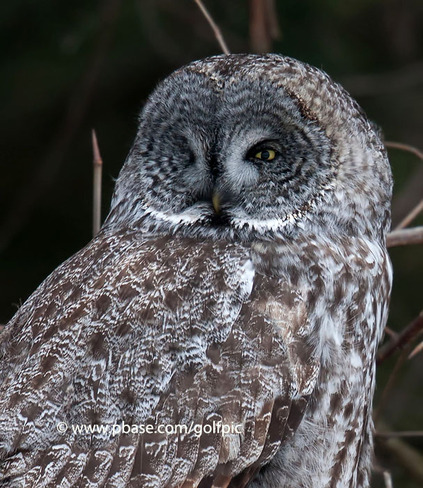 Great Gray Owl at Prince Edward County Kingston, Ontario Canada