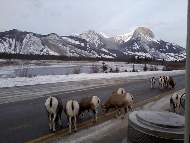 Long Horn Sheep snack Jasper, Alberta Canada