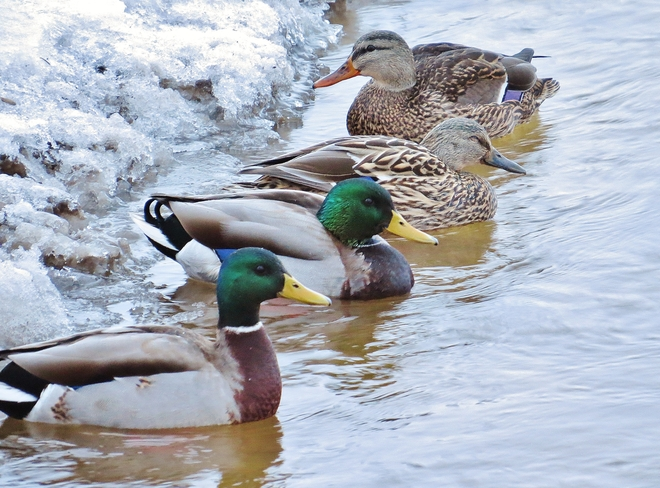 Mallards enjoy a double date in Chippewa Creek. North Bay, Ontario Canada