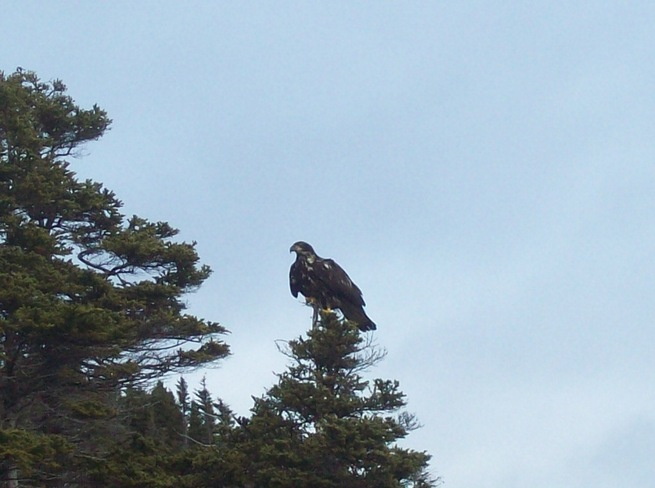 young bald eagle Twillingate, Newfoundland and Labrador Canada