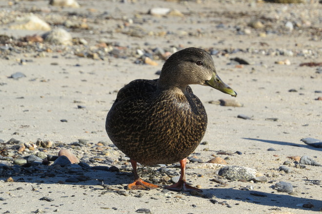 Pausing American Black Duck~ Female Chester, Nova Scotia Canada