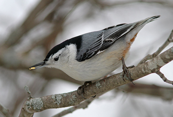 White-breasted Nuthatch Ingleside, Ontario Canada