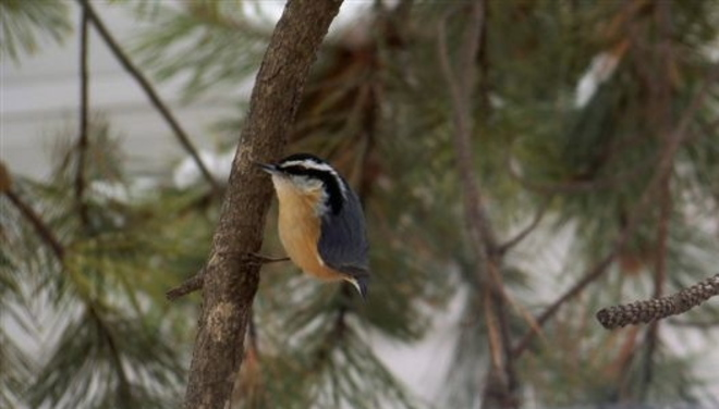 Blessed with a nuthatch outside my window Edmonton, Alberta Canada