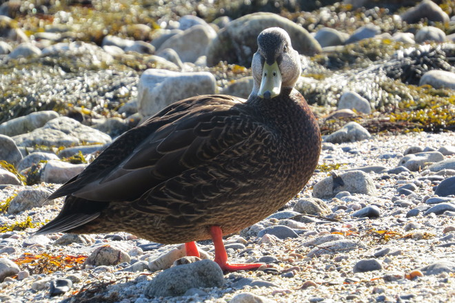 American Black Duck Head On Chester, Nova Scotia Canada