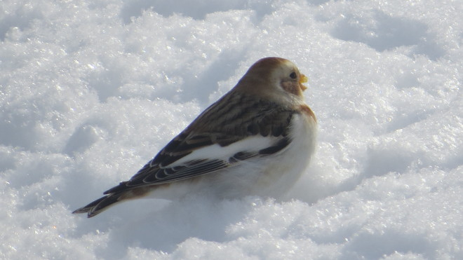 snow bunting in the snow Rutherglen, Ontario Canada