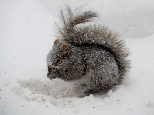 Squirrel in the snow storm Winnipeg, Manitoba Canada