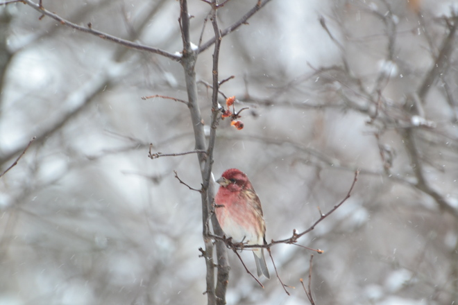 redpolls are here Sturgeon Falls, Ontario Canada