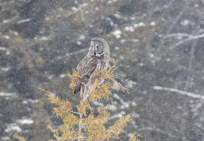 Rare Gray Spotted Owl Spotted Brooklin, Ontario Canada