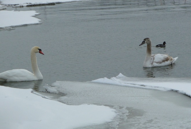 Family of Swans on the Ganaraska River Port Hope, Ontario Canada