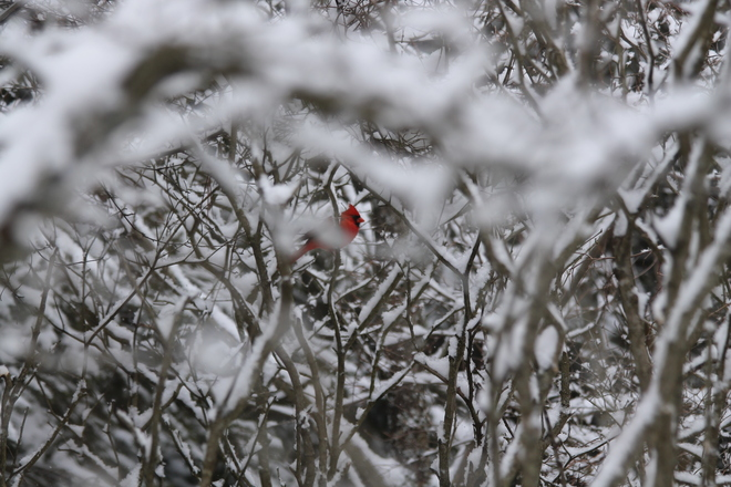 Elusive Cardinal Kingston, Ontario Canada