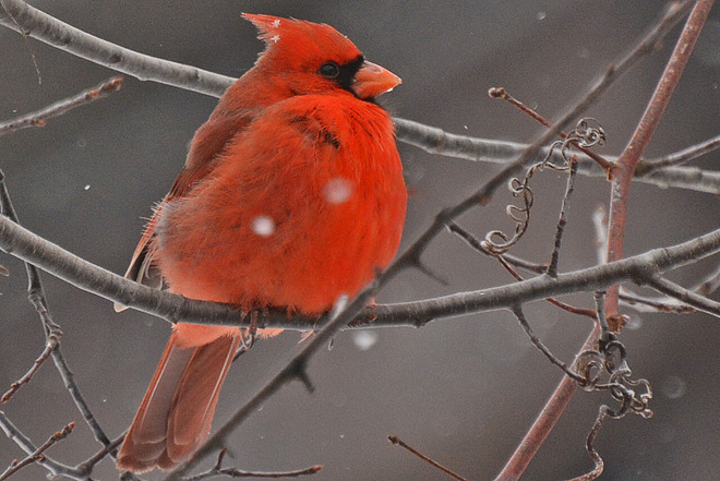 Northern Cardinal St. Jacobs, Ontario Canada
