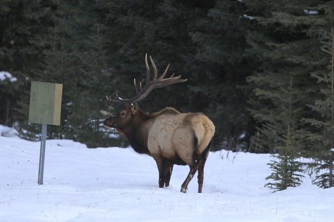 Elk reads sign for directions