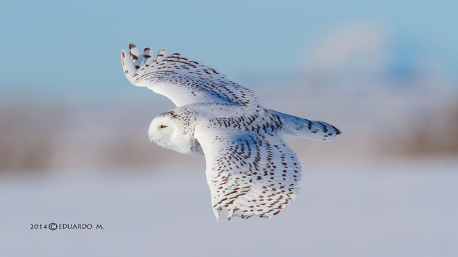 """You got me flying"". Snowy Owl said. Lyalta, Alberta Canada"