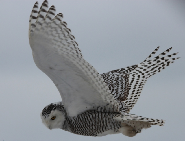 Flying Snowy Owl St. Catharines, Ontario Canada