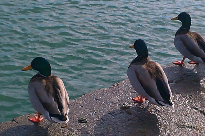 3 LUCKY DUCKS! Port Dalhousie, Ontario Canada