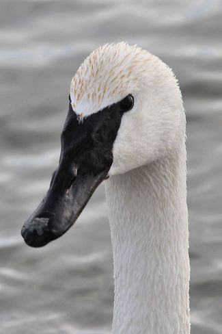 Trumpeter Swan close up Brighton, Ontario Canada