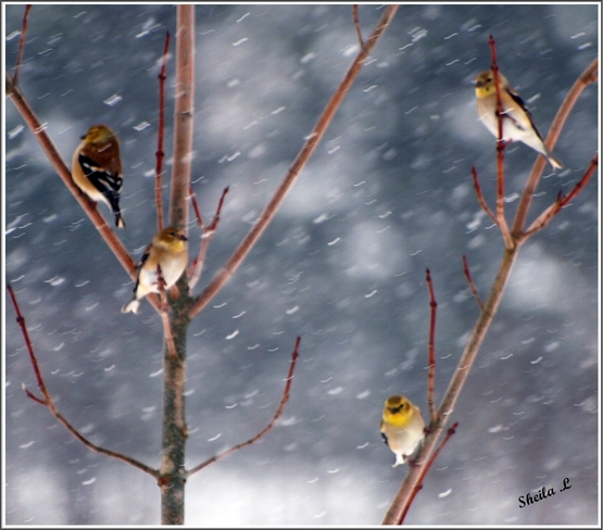 Yellow Finches In The Snow Canning, Nova Scotia Canada